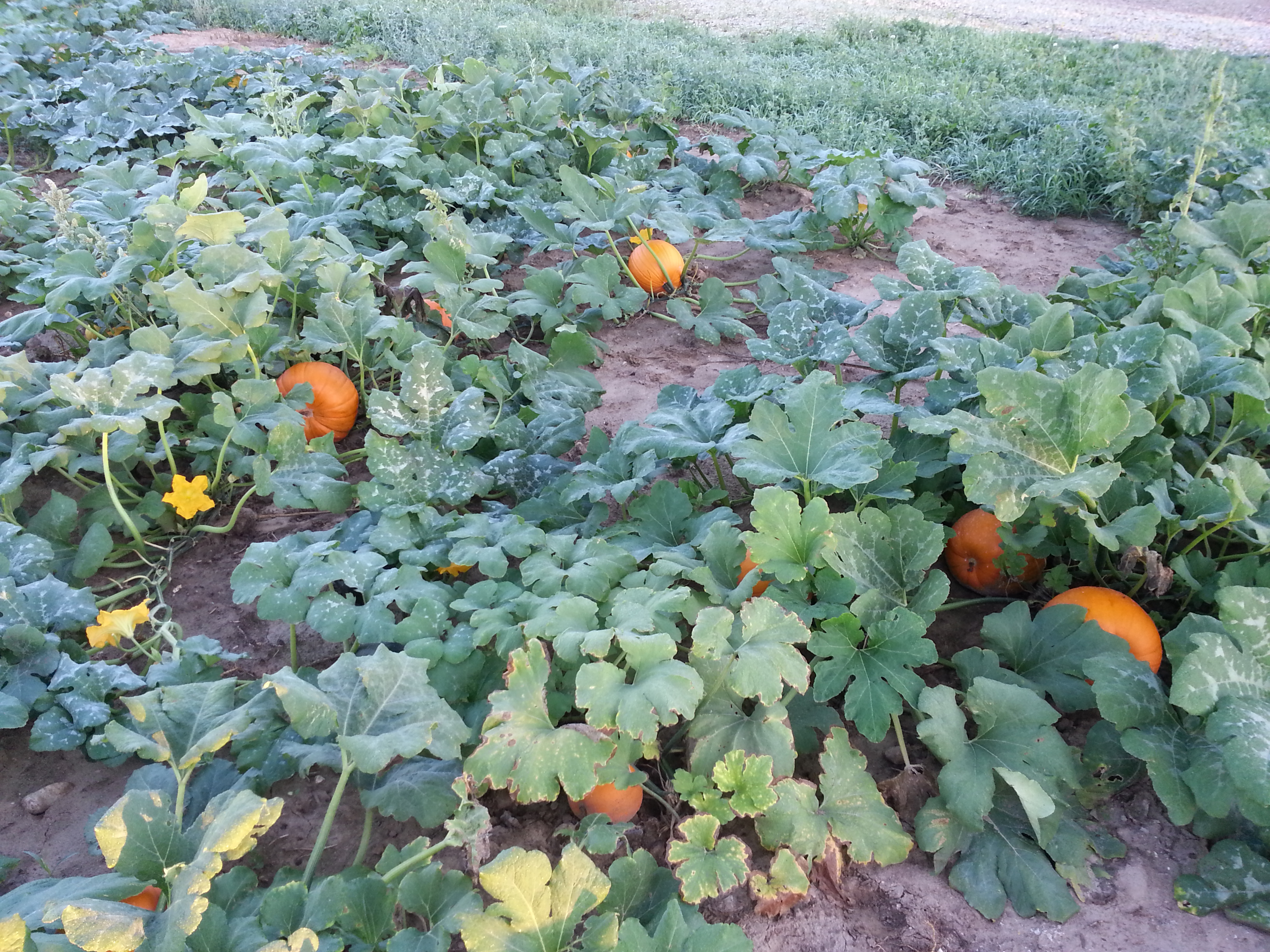 pick your own pumpkins at schuett farm in Mukwonago WI